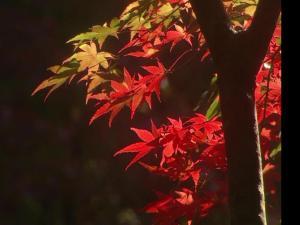 绚丽的红叶