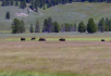 大草原吃草的牛