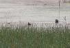 江边芦苇滩2