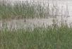 江边芦苇滩