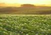 田野向日葵
