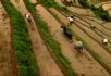 梯田耕牛种水稻