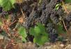 葡萄和葡萄园特写