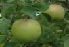 绿苹果硕果累累