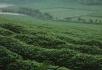 茶园茶农泡茶