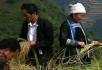 农业类收割仙稻