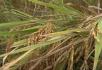 人工收割稻谷