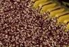 收割棉花小麦