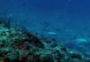 漂亮的蝙蝠鲨鱼