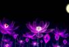 梦幻紫色荷花荷塘月色