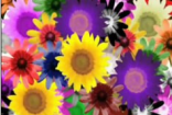 彩色向日葵