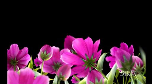 带透明通道的花朵开放